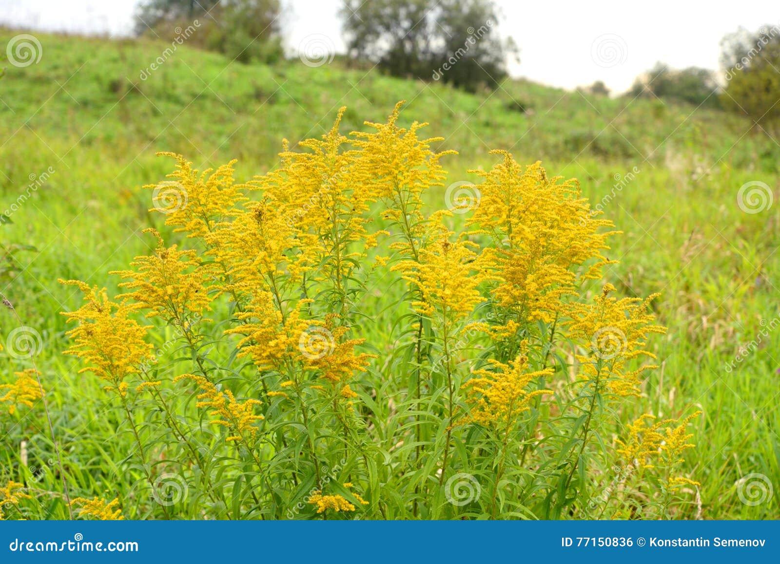 Sommarlandskap med den lösa blomman