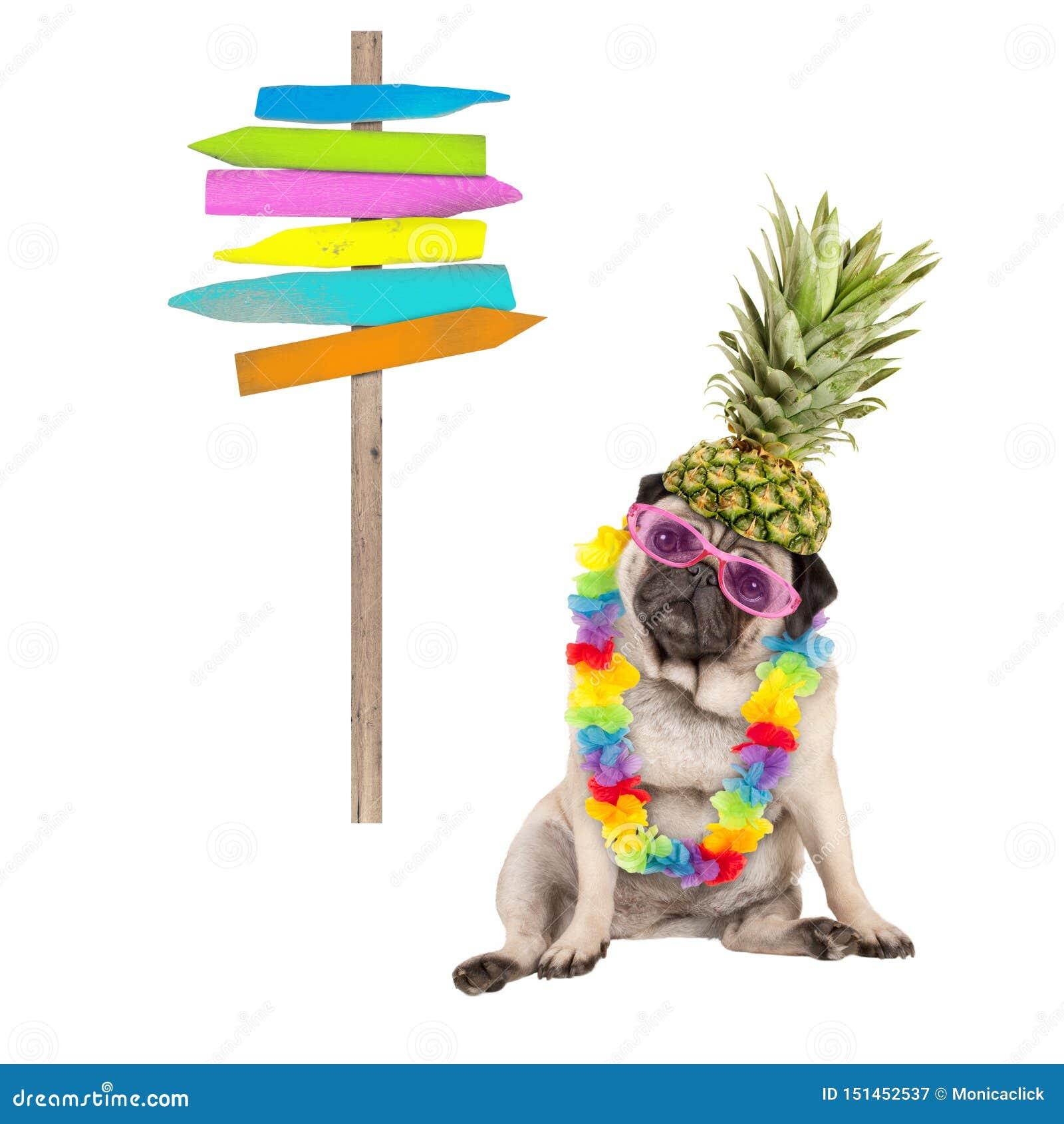 Sommarmopshund som ner sitter med den färgrika hawaianska blommagirlanden, rosa solglasögon och ananashatten, bredvid trästrandte