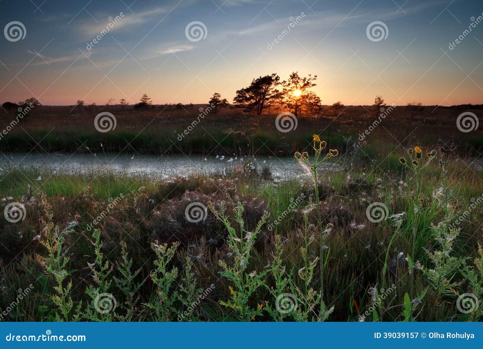 Sommarsolnedgång över vildblommor på träsk