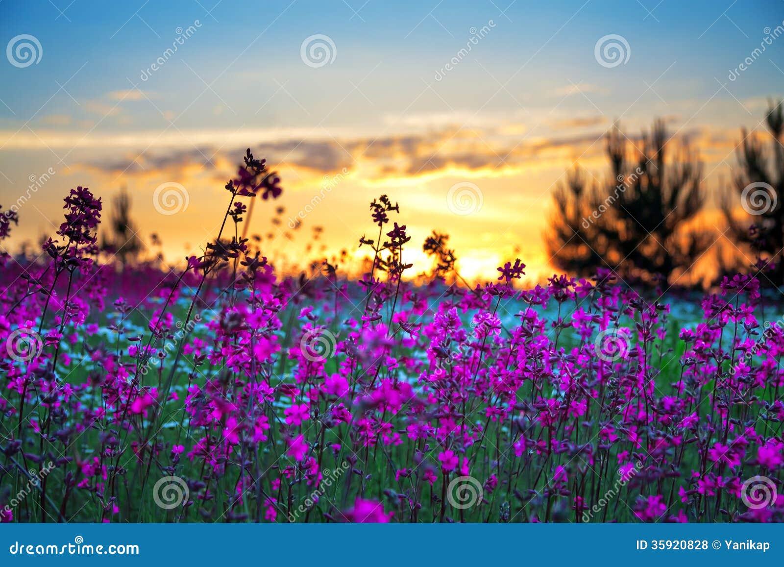 Sommarsoluppgång över en blomstra äng
