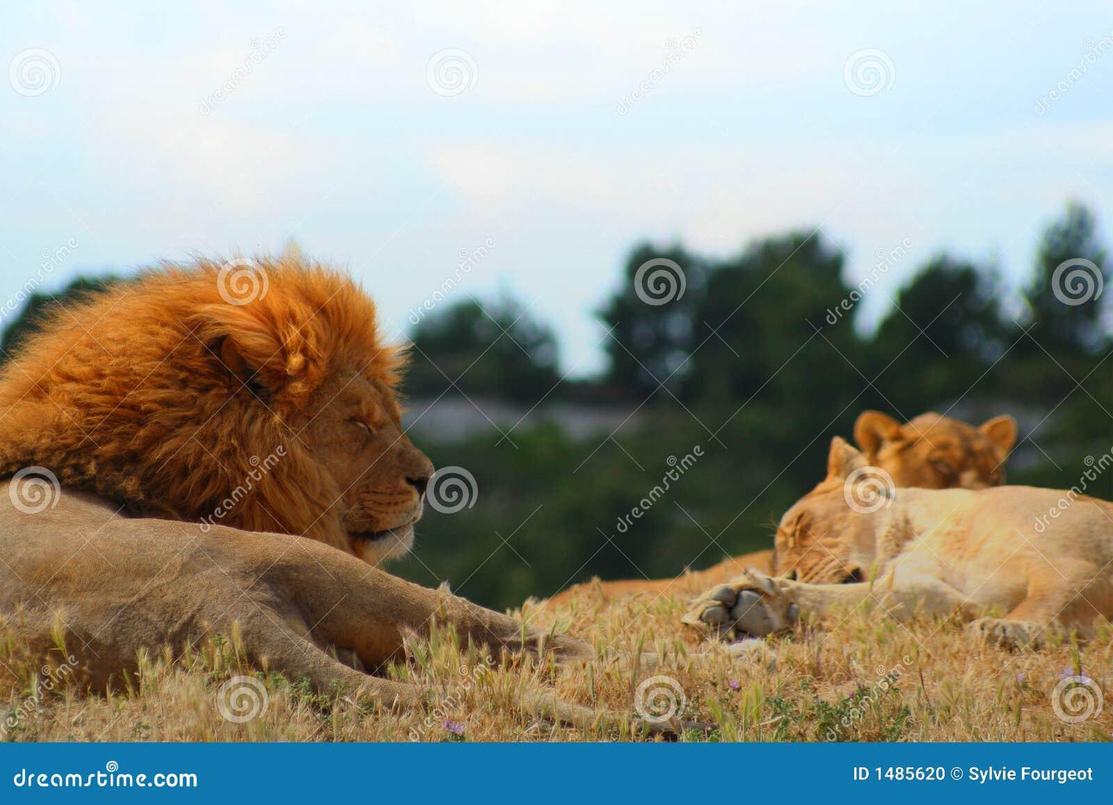 Somme des lions.