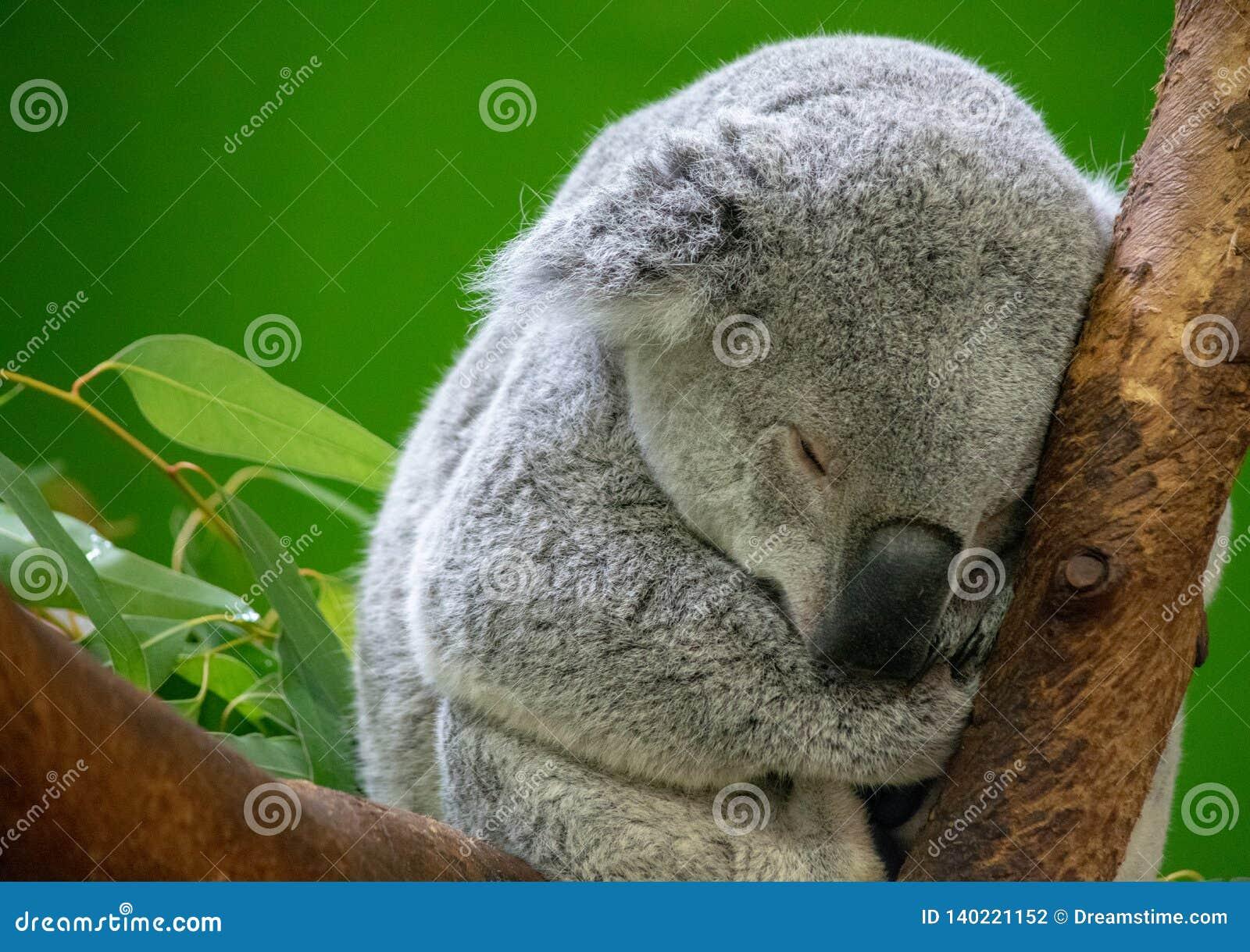 Sommeil d ours de koala