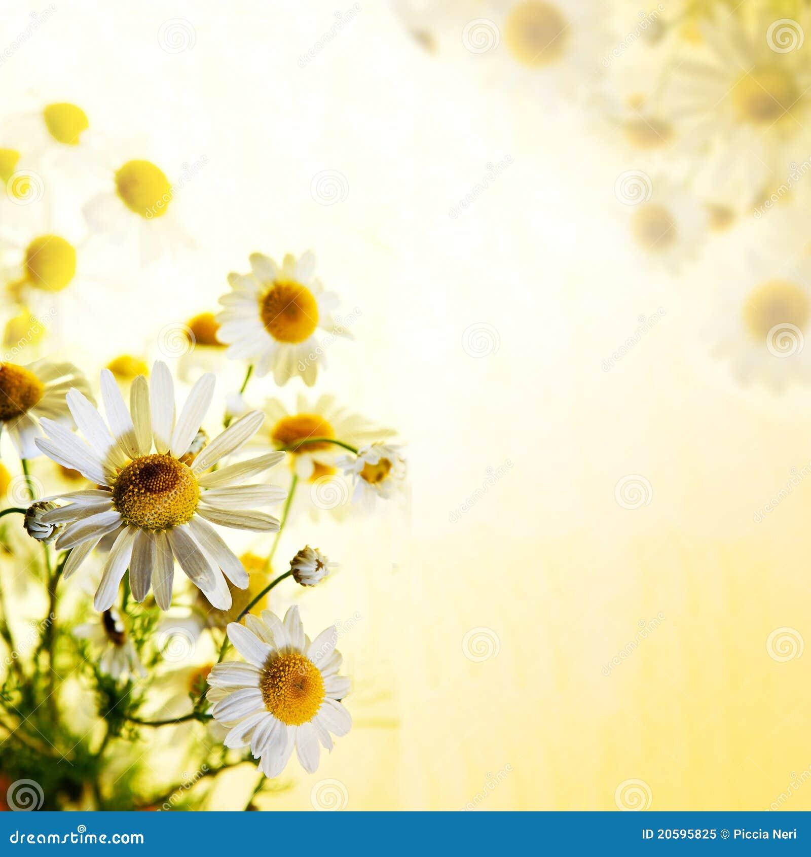 Sommer Wildflowers: Kamille