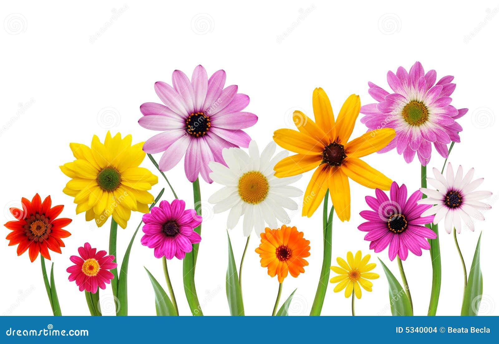 Sommergänseblümchen