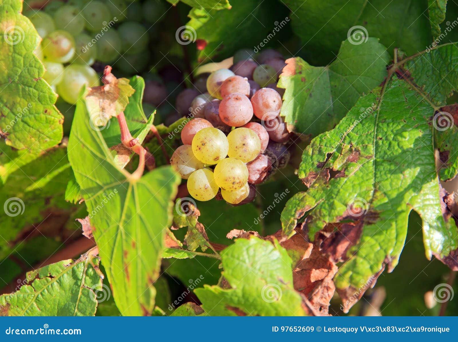 Sommige Chablis-druiven, dichtbij Auxerre, Bourgondië, Frankrijk