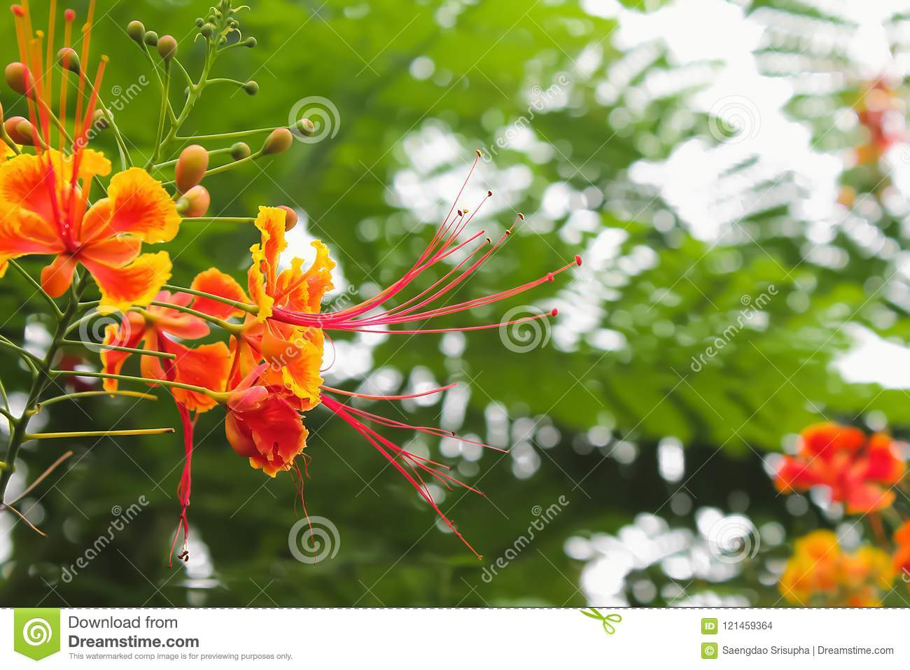 Acacia Concinna Tree With Red Flowers Seen From Afar Stock Photo