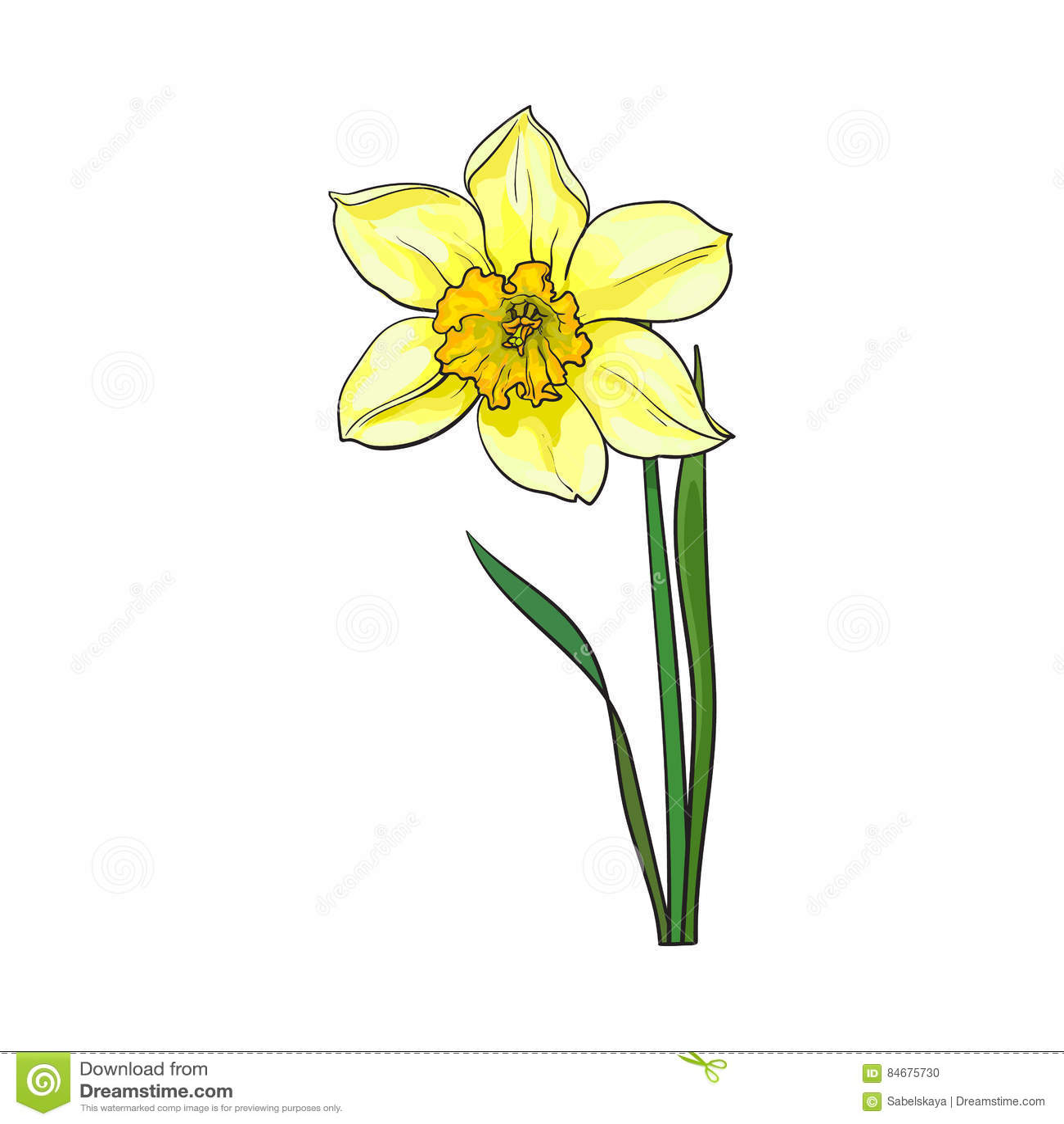 Sondern Sie gelbe Narzisse, Narzissenfrühlingsblume mit Stamm und Blätter aus