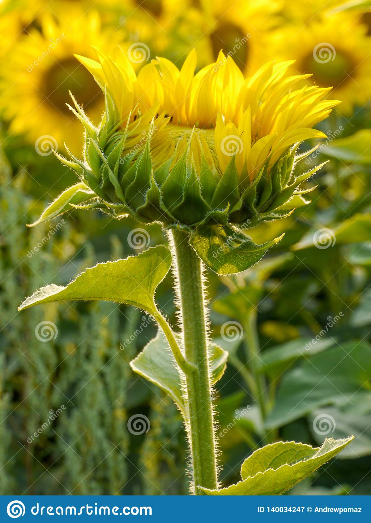 Sonflower seul se tenant au gisement de tournesol
