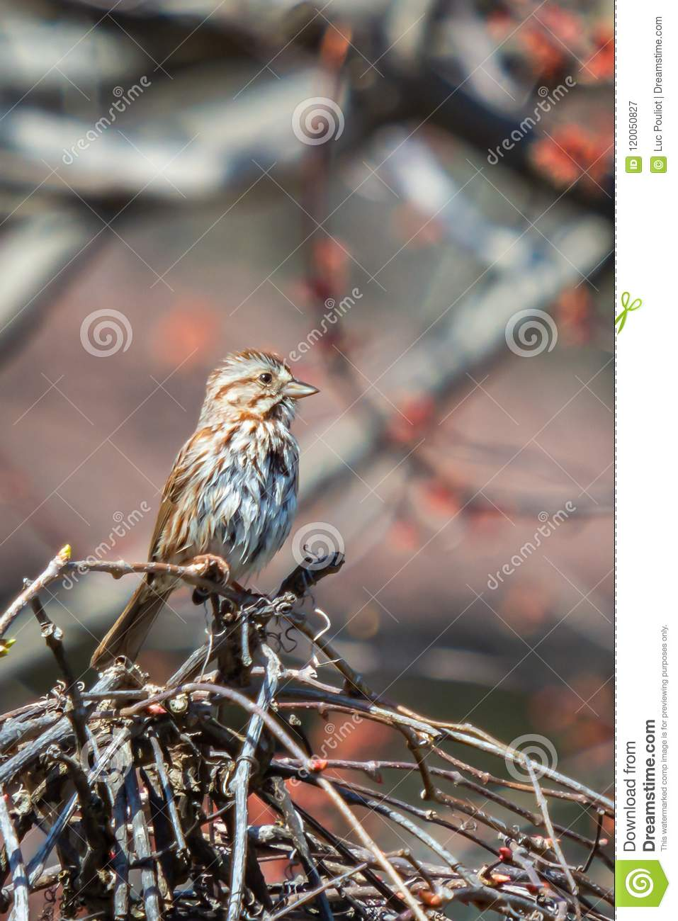 Song sparrow perched on a grapevine