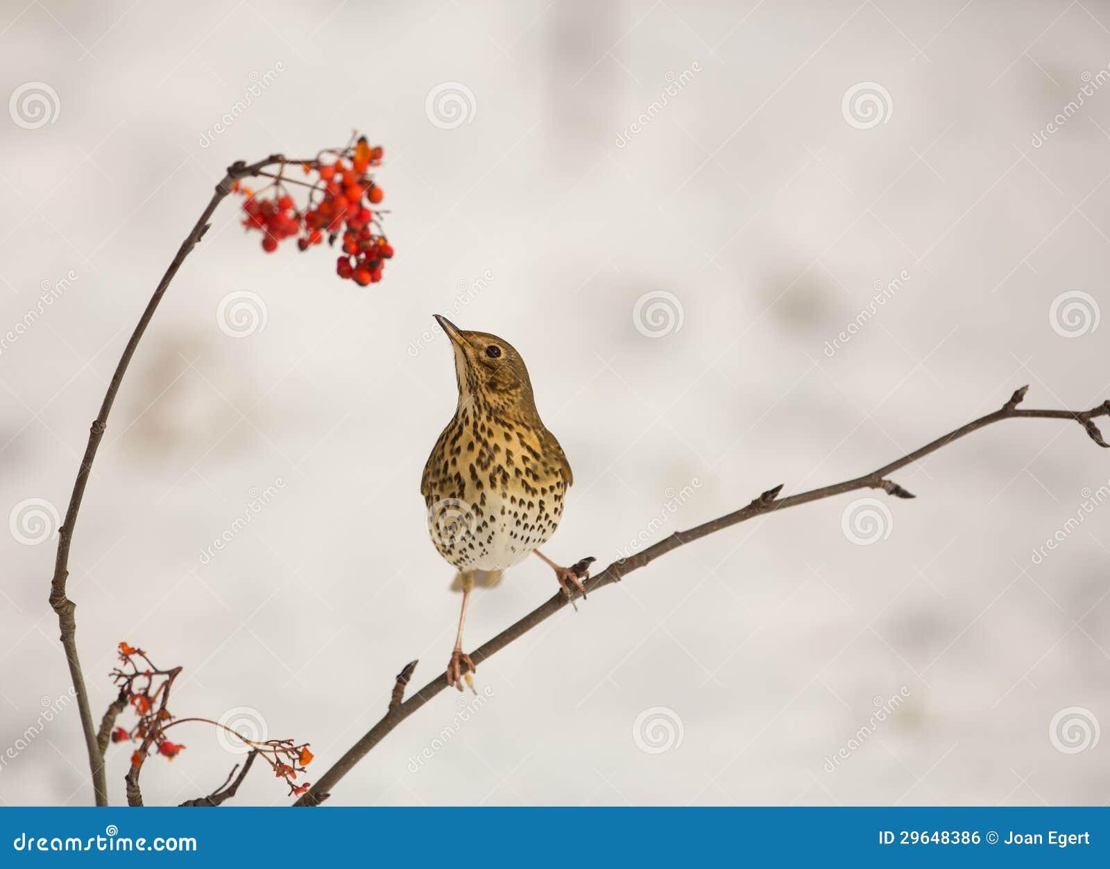 Song Thrush with Rowan berries