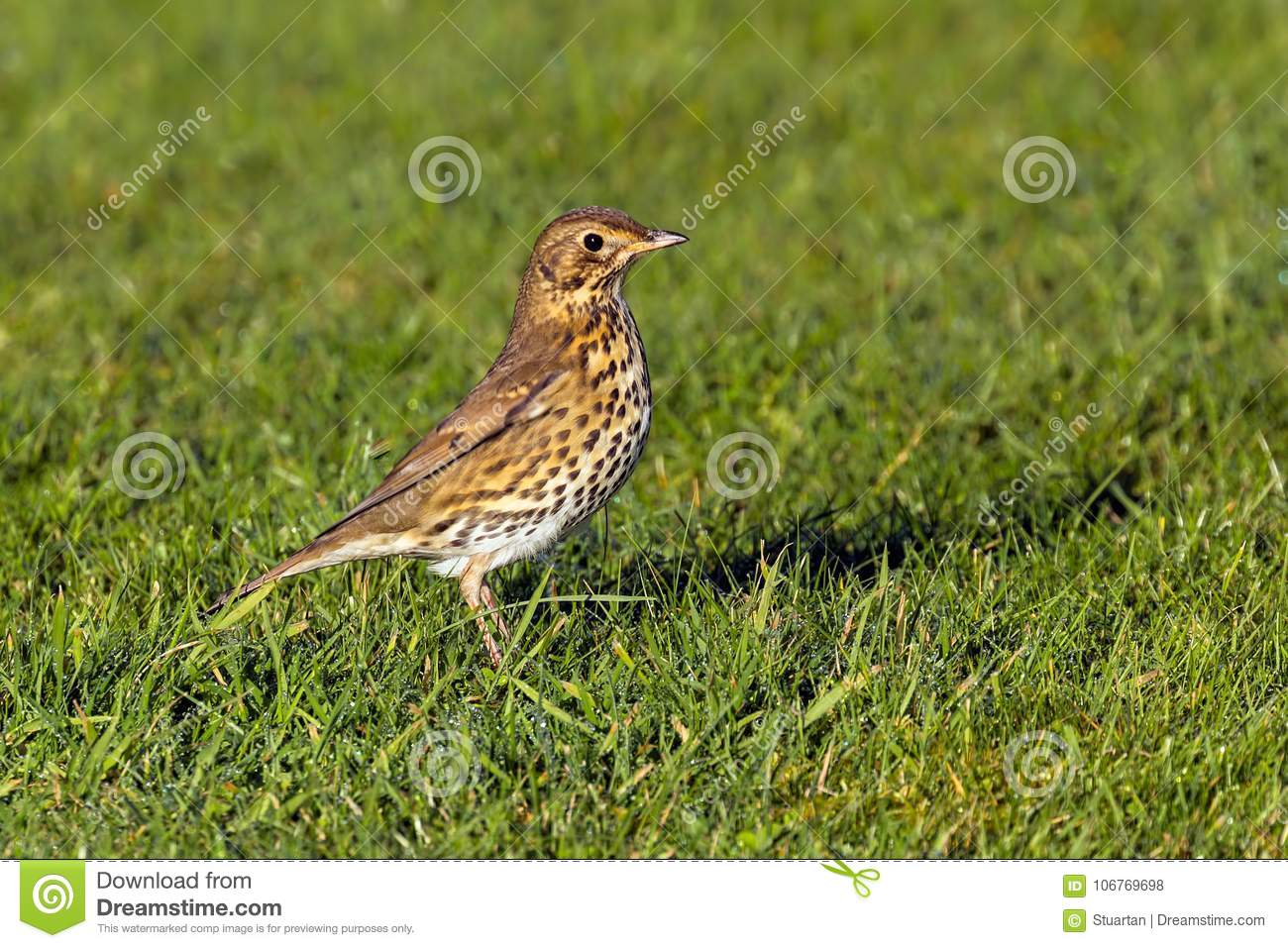 Song Thrush - Turdus philomelos at Croome Park, Worcestershire.