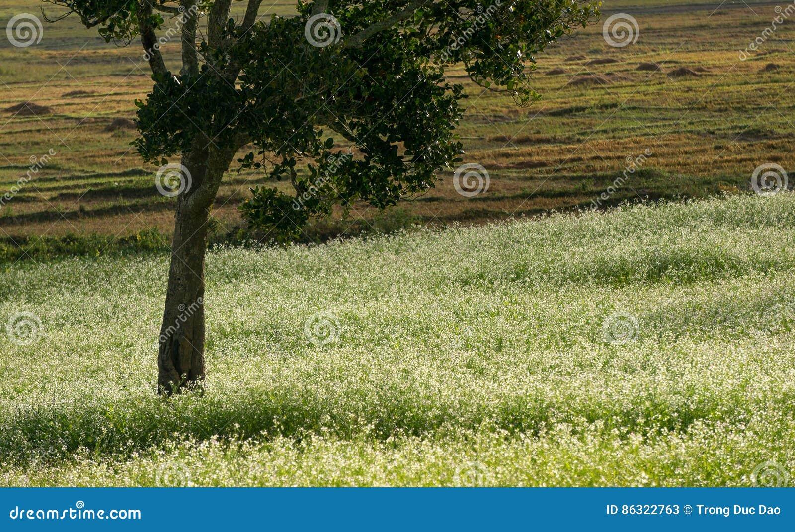 Sonnen Sie sich und das Senffeld mit weißer Blume in DonDuong - Dalat- Vietnam