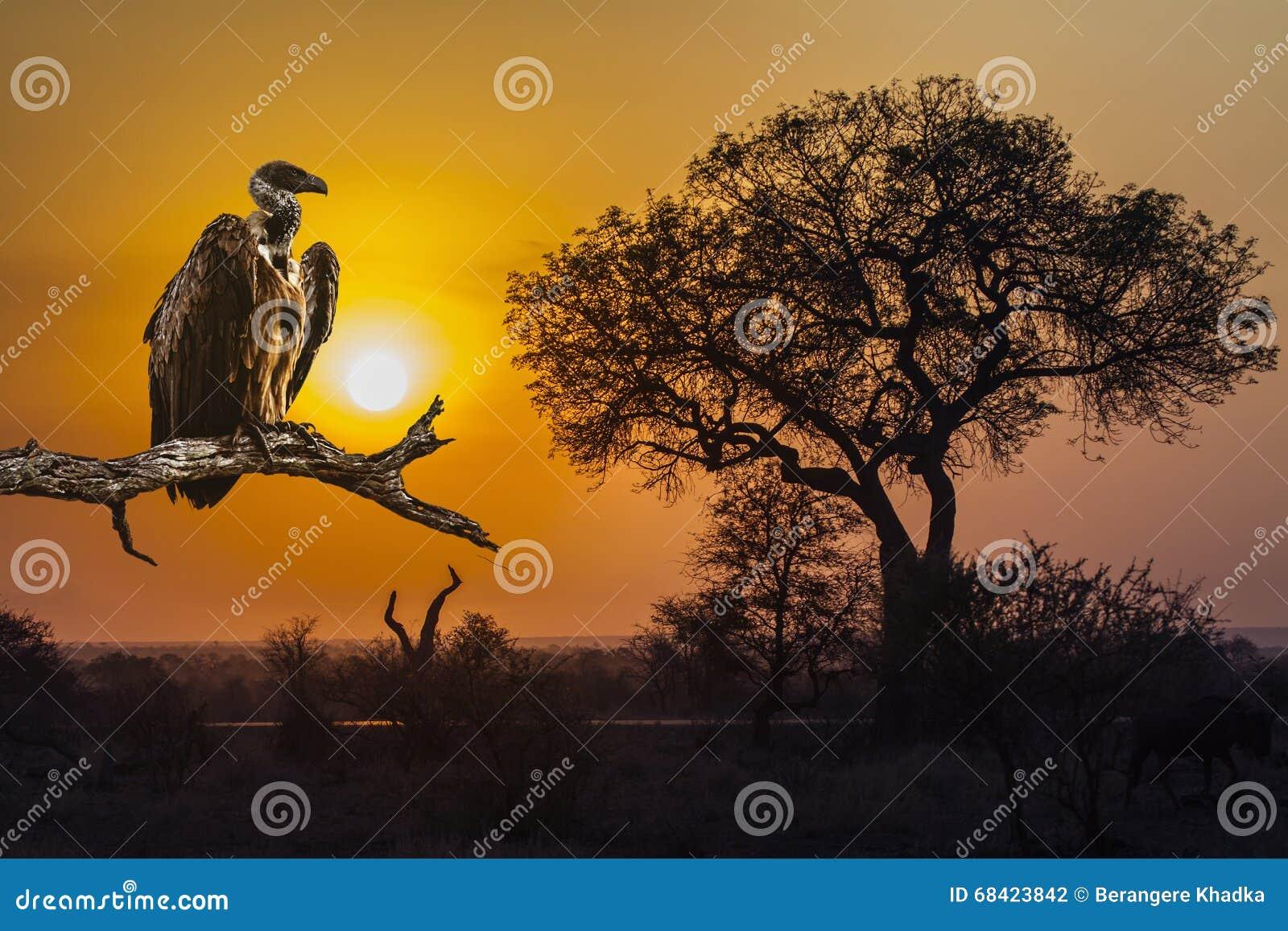 Sonnenaufganglandschaft und -geier in Nationalpark Kruger
