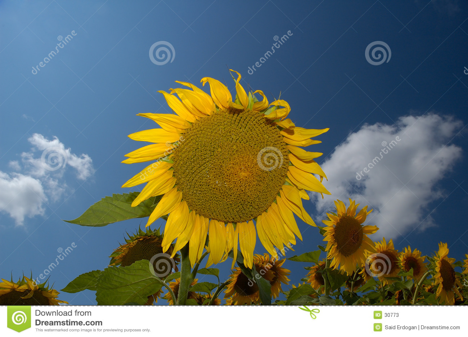 Sonnenblume-Bauernhof I