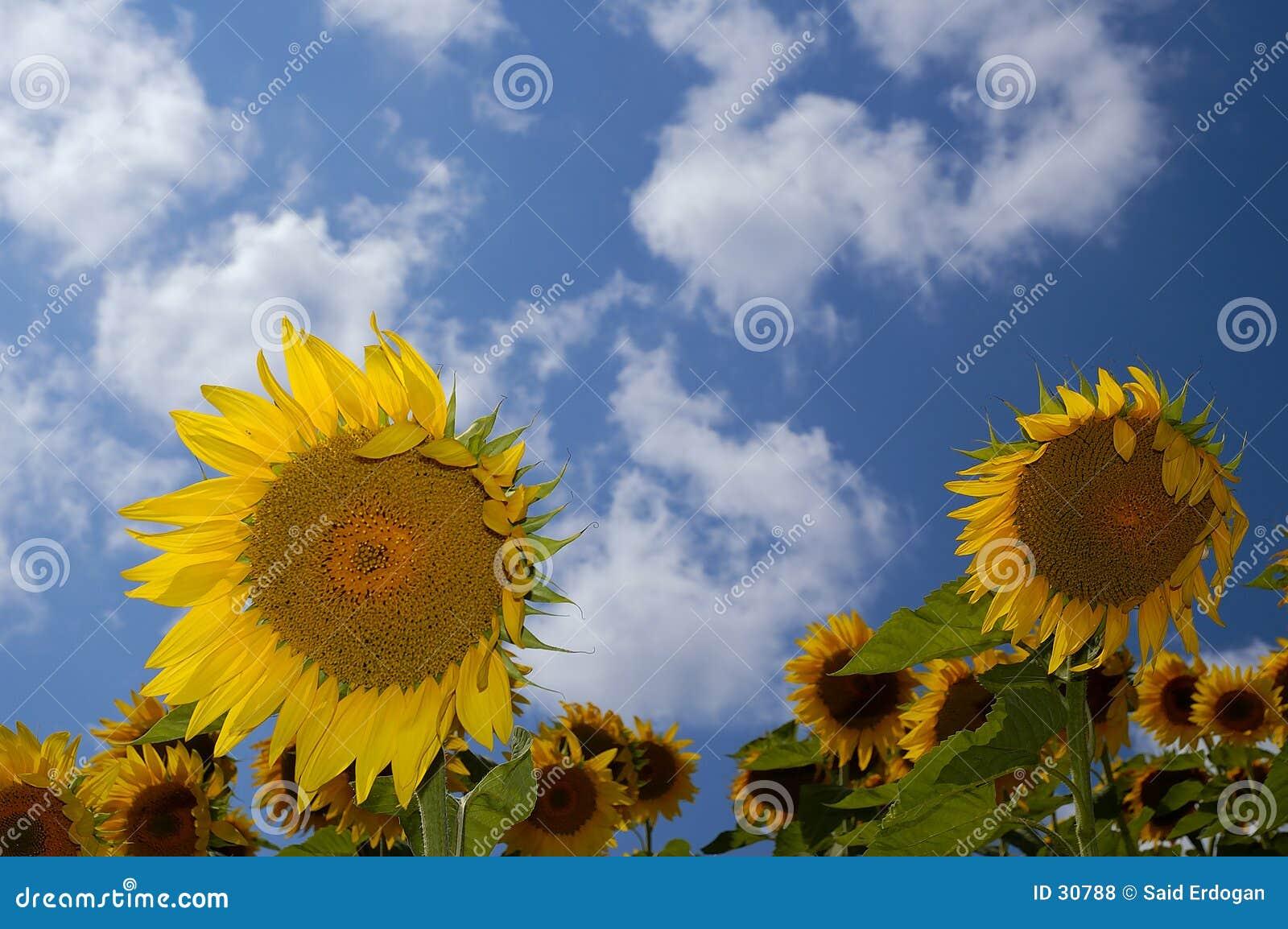 Sonnenblume-Bauernhof III
