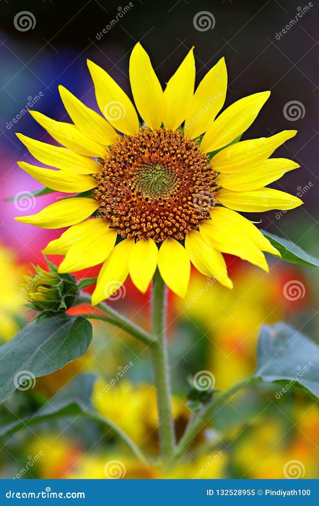 Sonnenblume an einem sonnigen Tag im Garten