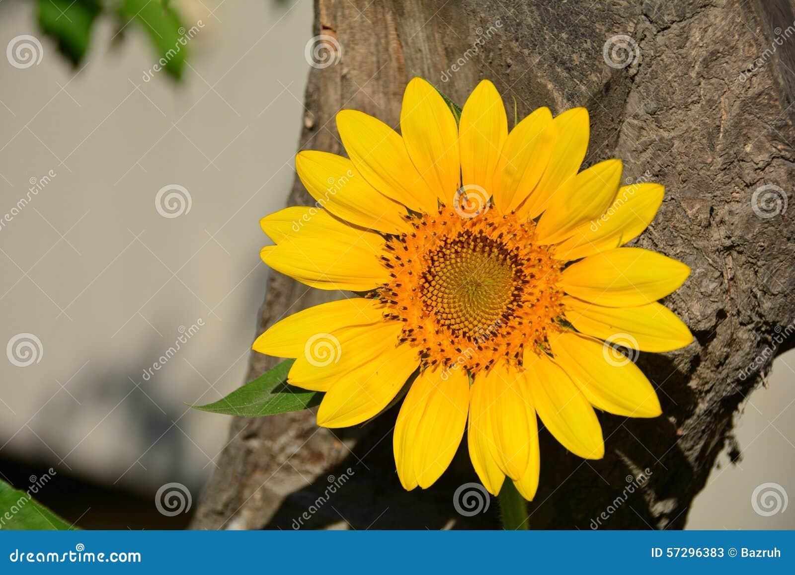 Sonnenblume, gelbe Sonne