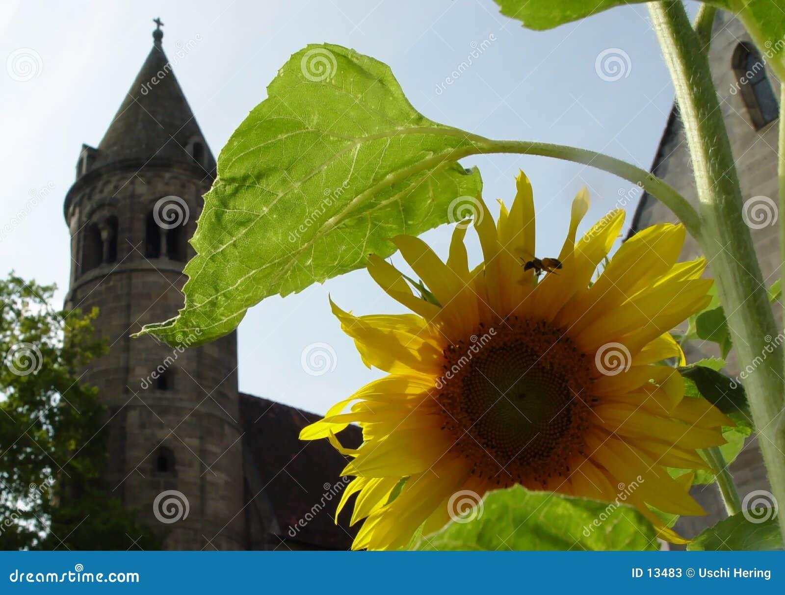 Sonnenblume im Kloster
