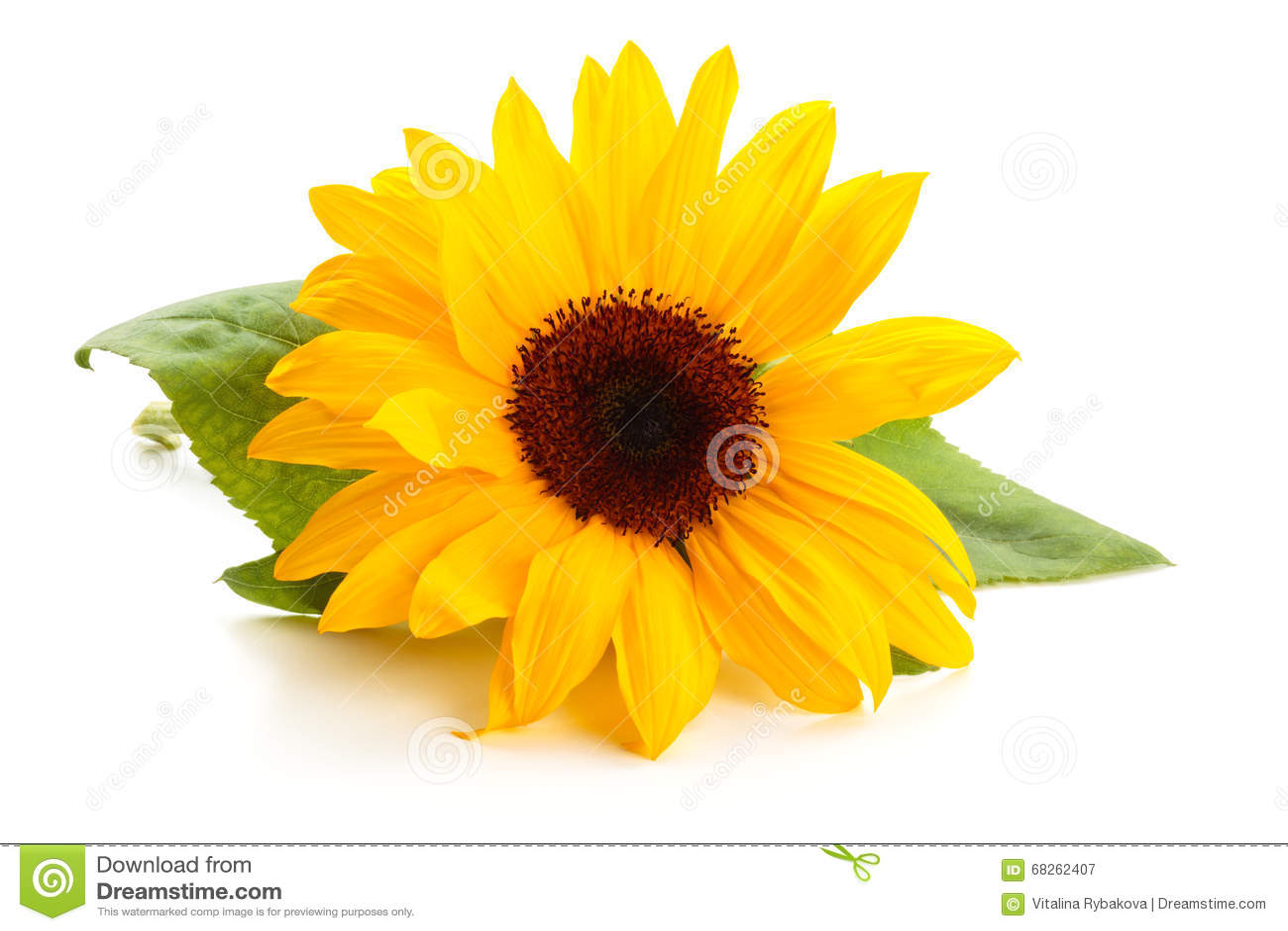 Sonnenblume mit Blättern