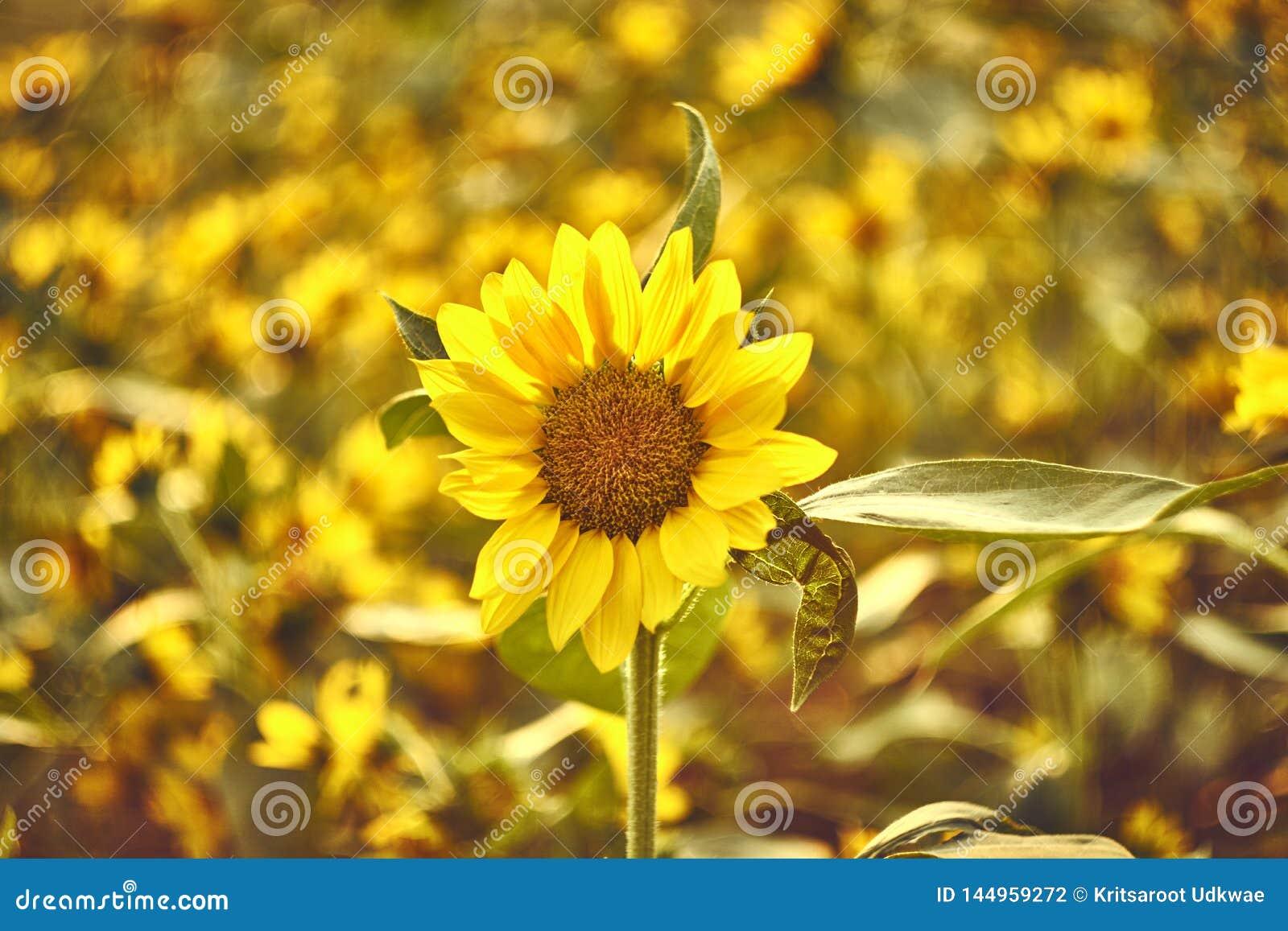 Sonnenblume mit Unsch?rfesonnenblumenfeld im Hintergrund