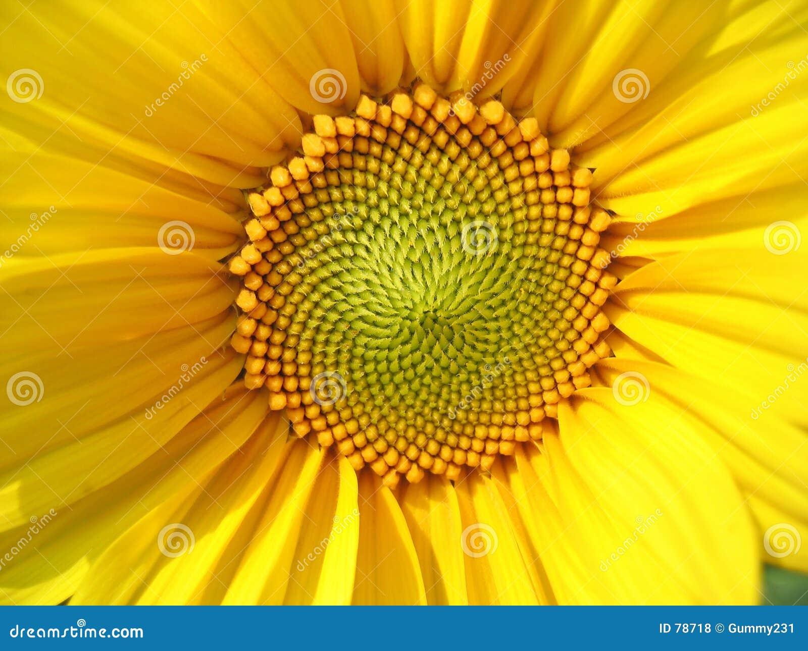 Sonnenblume-Mitte