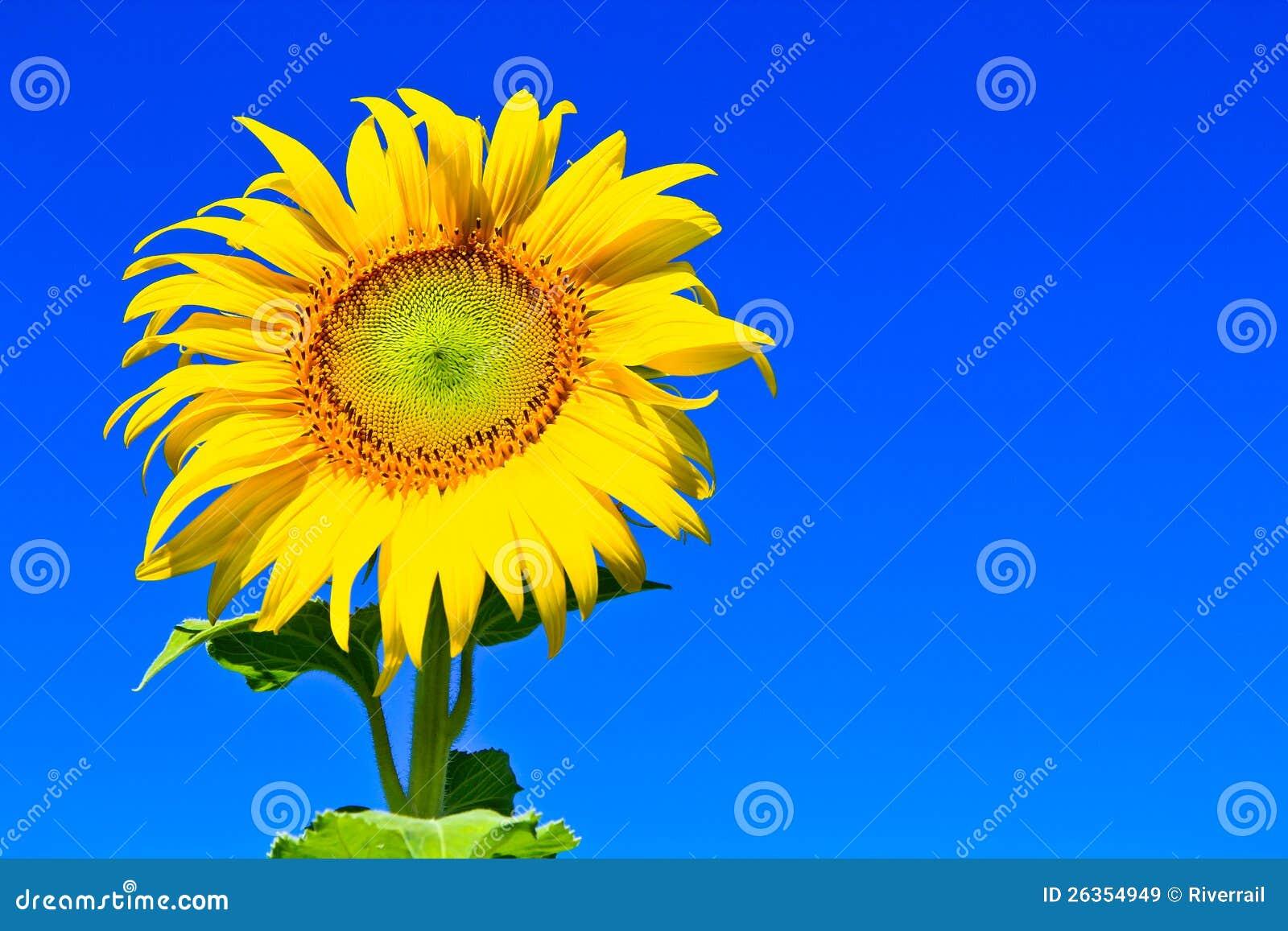 Sonnenblume in Thailand