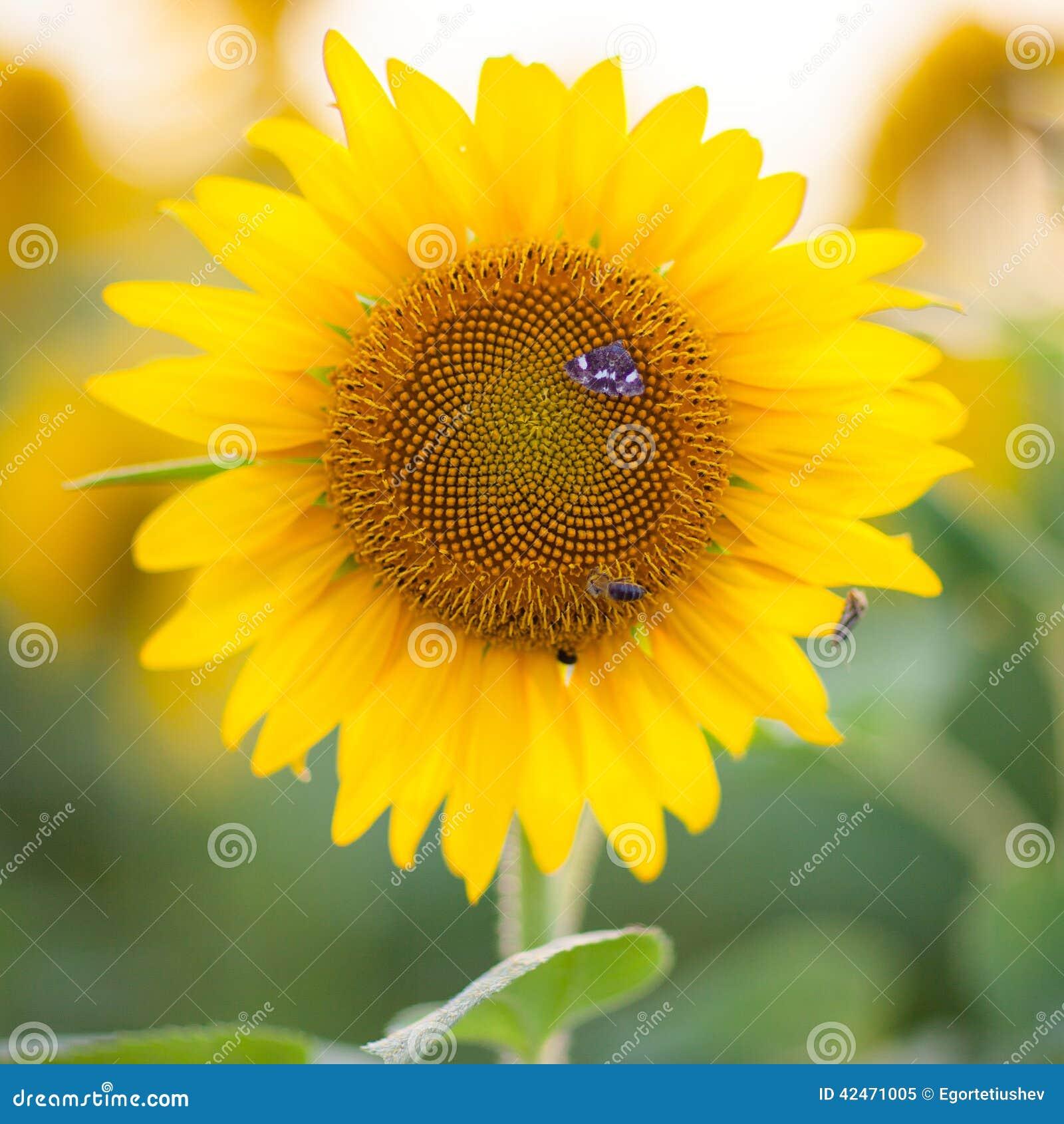 Sonnenblume und Basisrecheneinheit