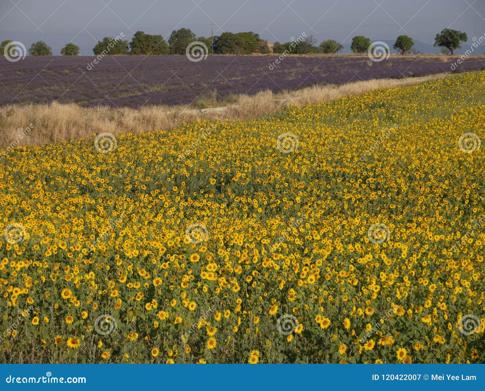 Sonnenblume und Lavendel in einem Gewann