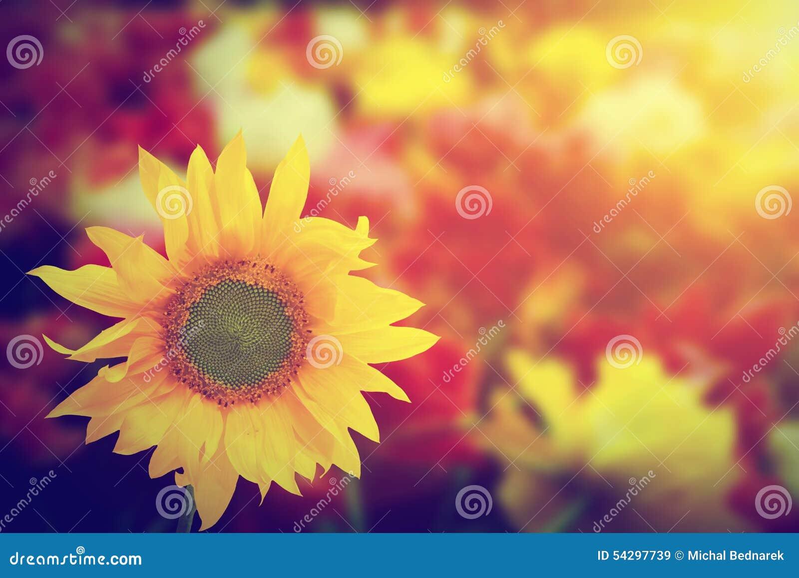 Sonnenblume unter anderem Frühlingssommer blüht am Sonnenschein