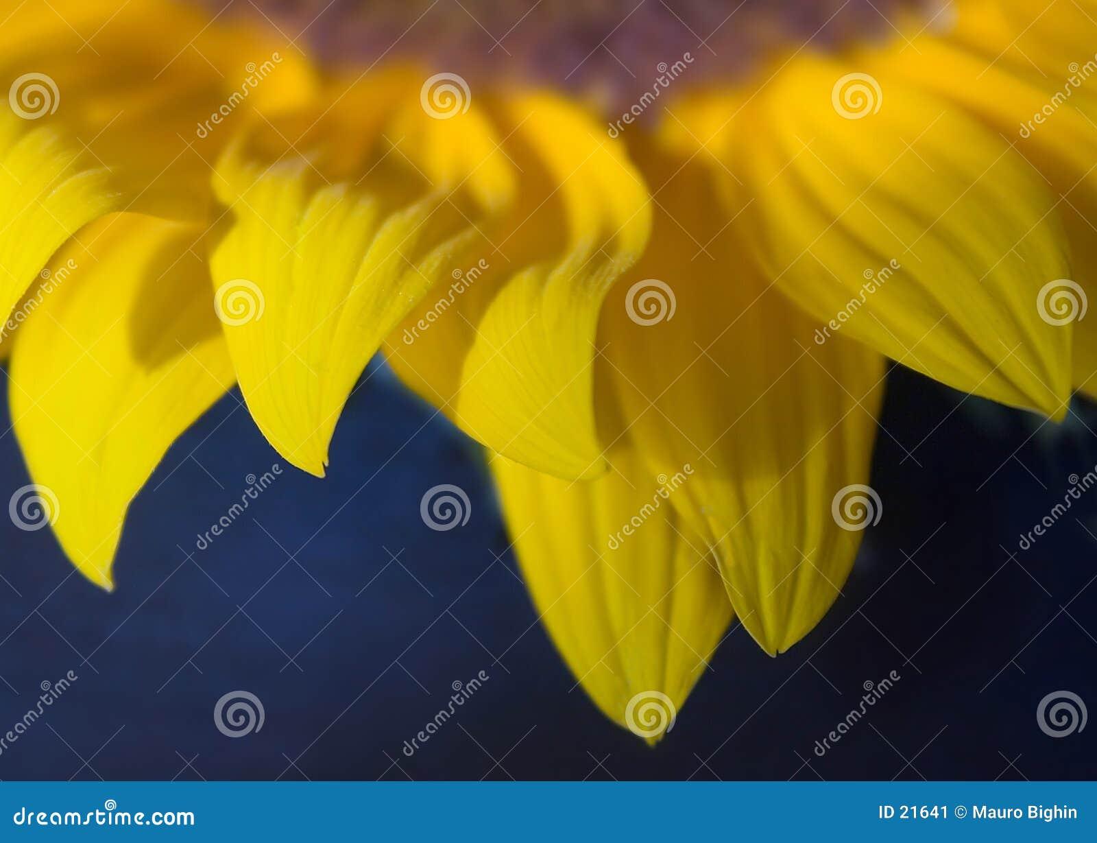 Sonnenblumeblumenblätter