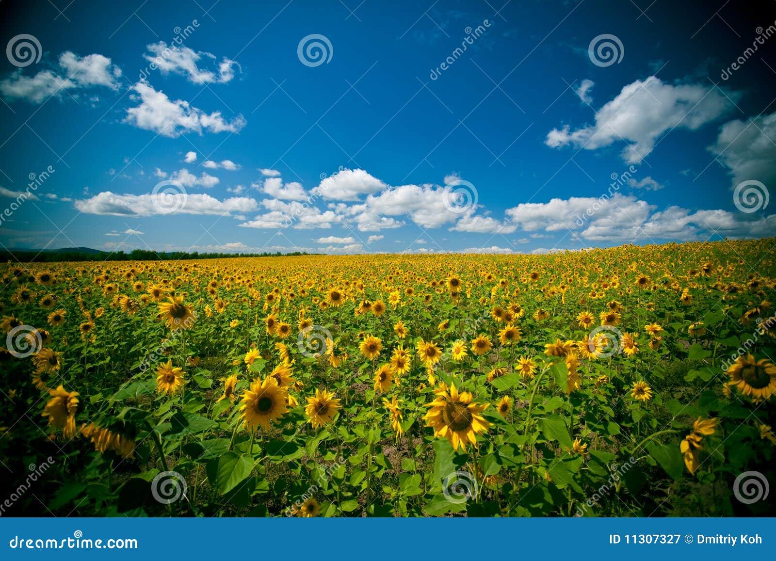 Sonnenblumefeld