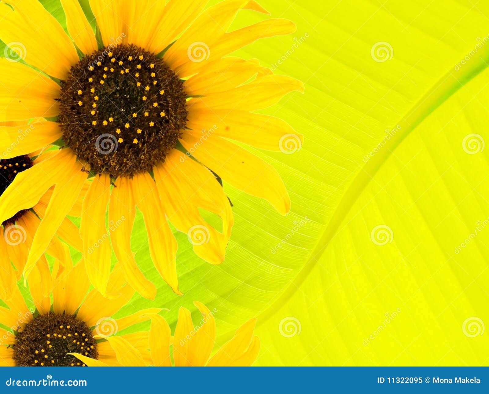 Sonnenblumehintergrund