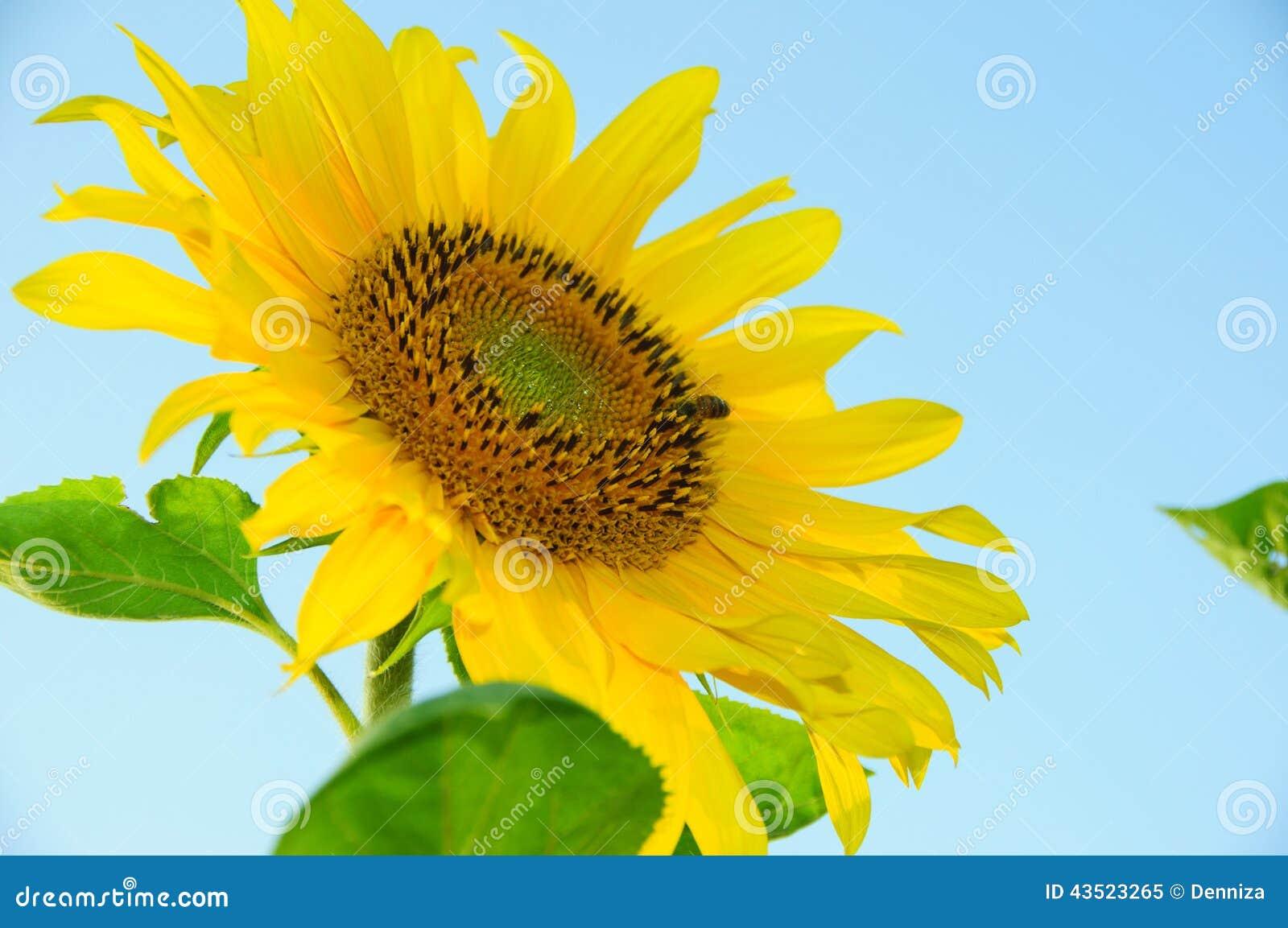 Sonnenblumen Auf Einem Blauen Hintergrund Färben Sonnenblume Und ...