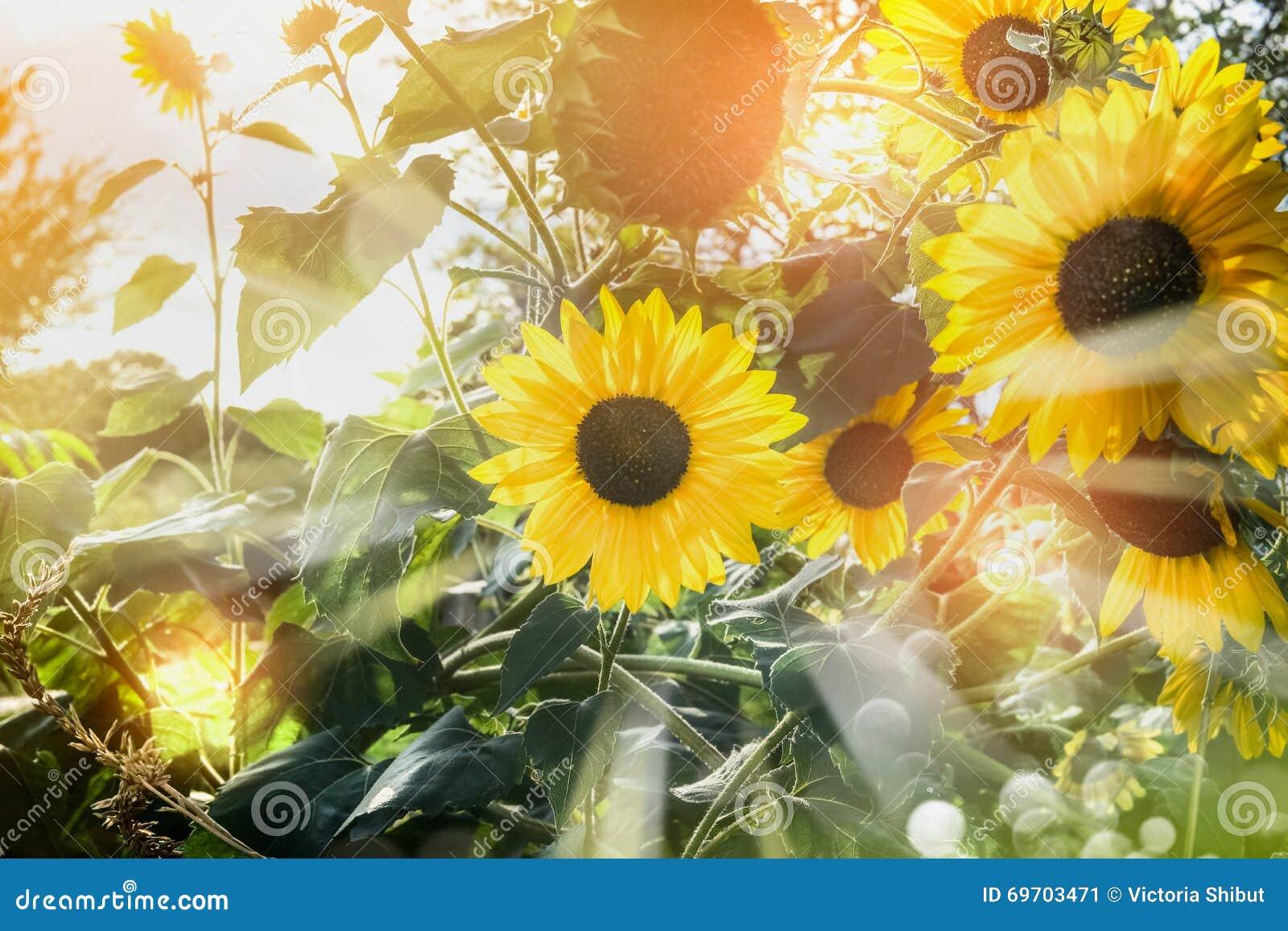 sonnenblumen im garten oder im park mit sonnenschein stockfoto bild 69703471. Black Bedroom Furniture Sets. Home Design Ideas