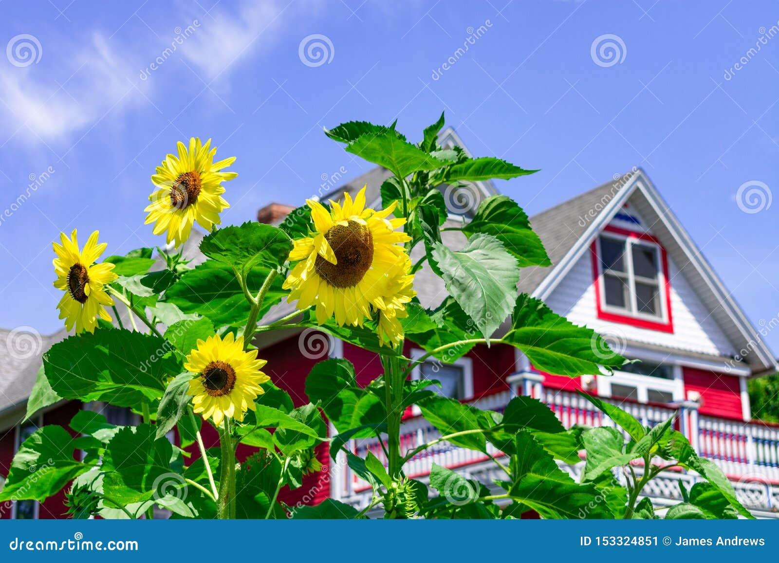 Sonnenblumen vor einem roten Landhaus