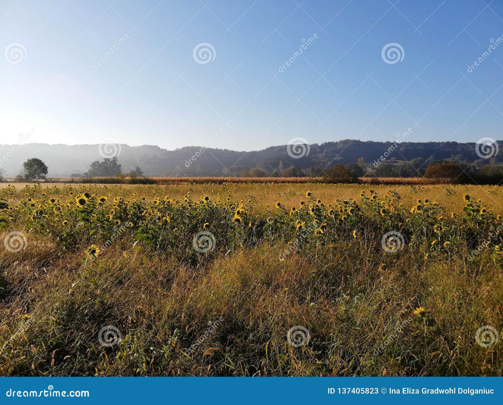 Sonnenblumenfeld in der Landschaft