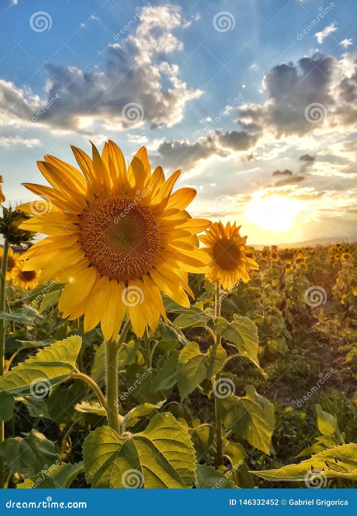 Sonnenblumenstrang bei Sonnenuntergang