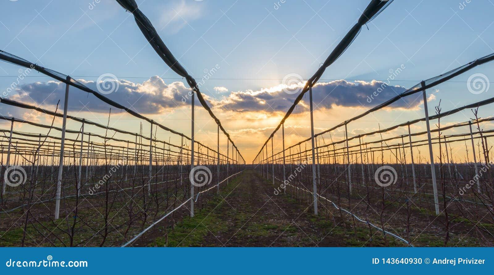 Sonnenuntergang über dem Apfelgarten im Vorfrühling