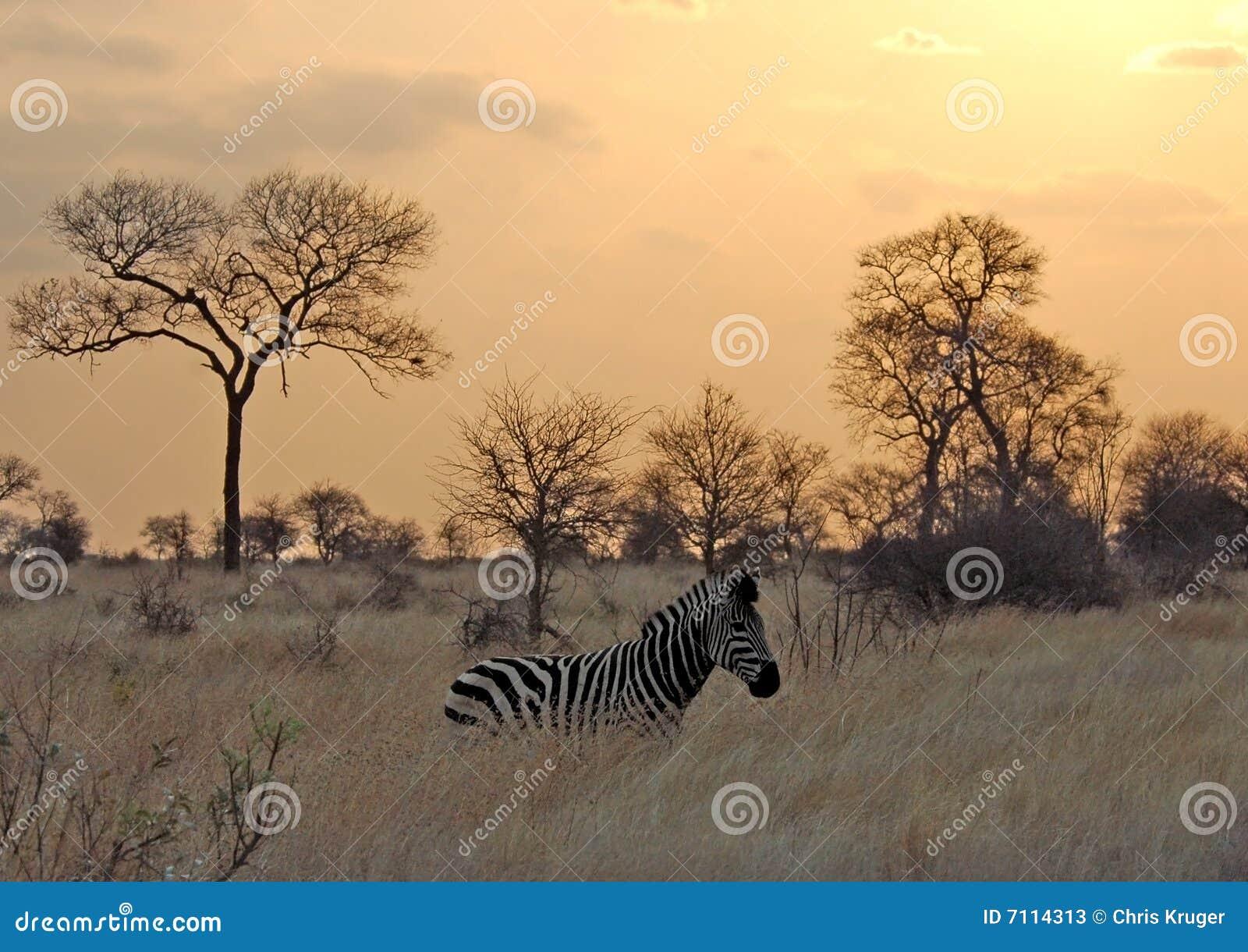 Sonnenuntergang mit Zebra in Afrika