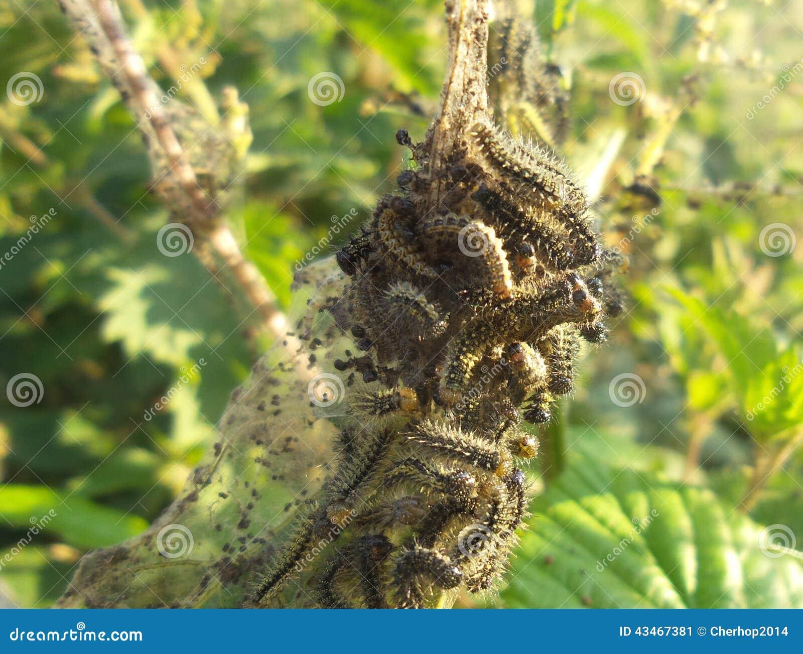sonnenuntergang pfau und schildpatt caterpillar das stechende nessel isst stockbild bild von. Black Bedroom Furniture Sets. Home Design Ideas