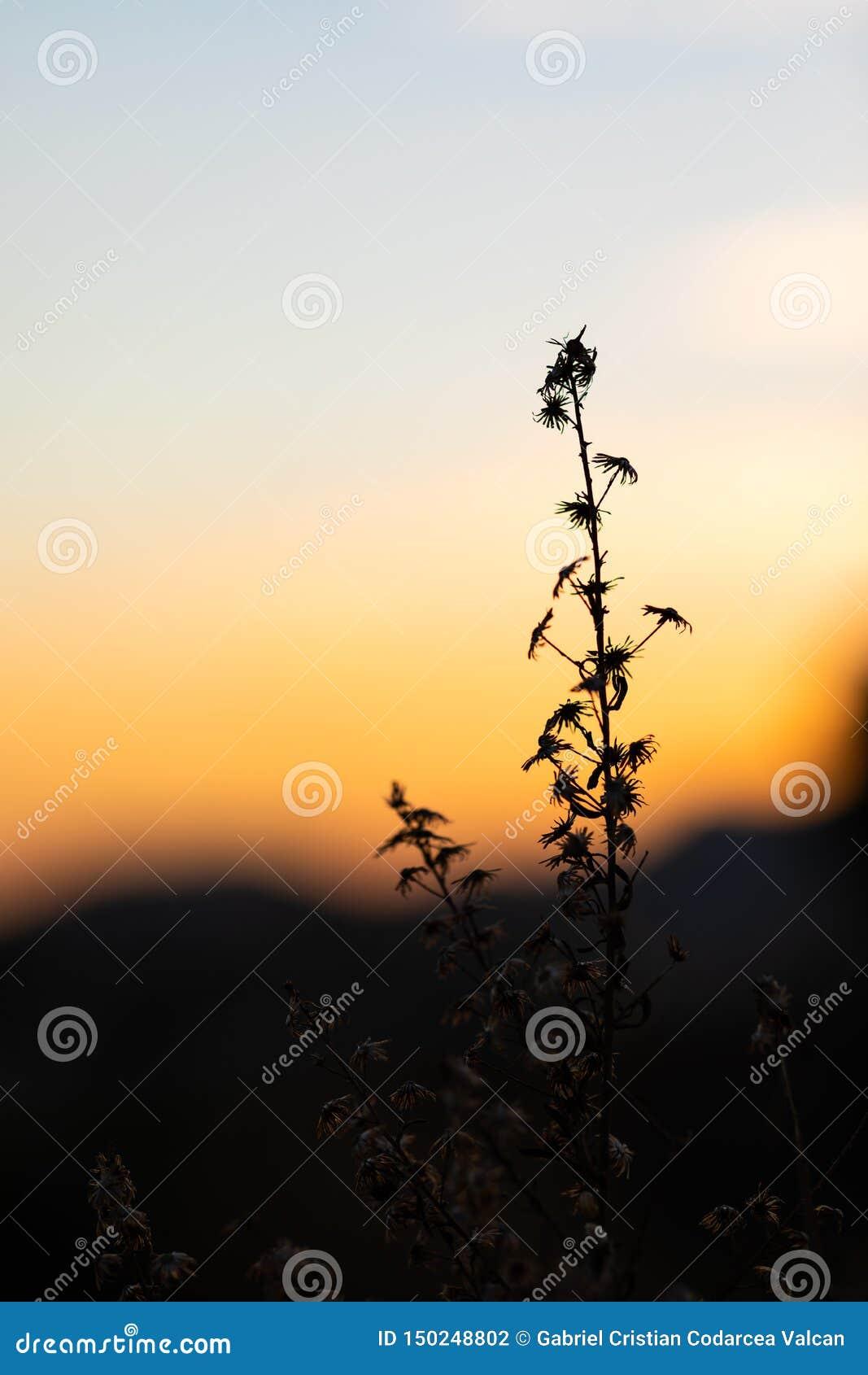 Sonnenuntergangansicht mit den Schattenbildern von Kräutern und von Anlagen