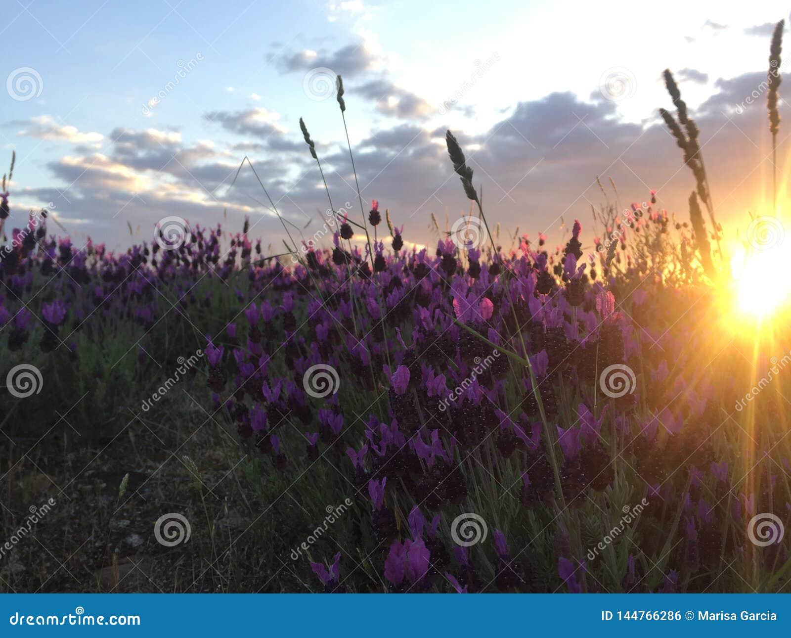 Sonnenunterganglavendelfeld