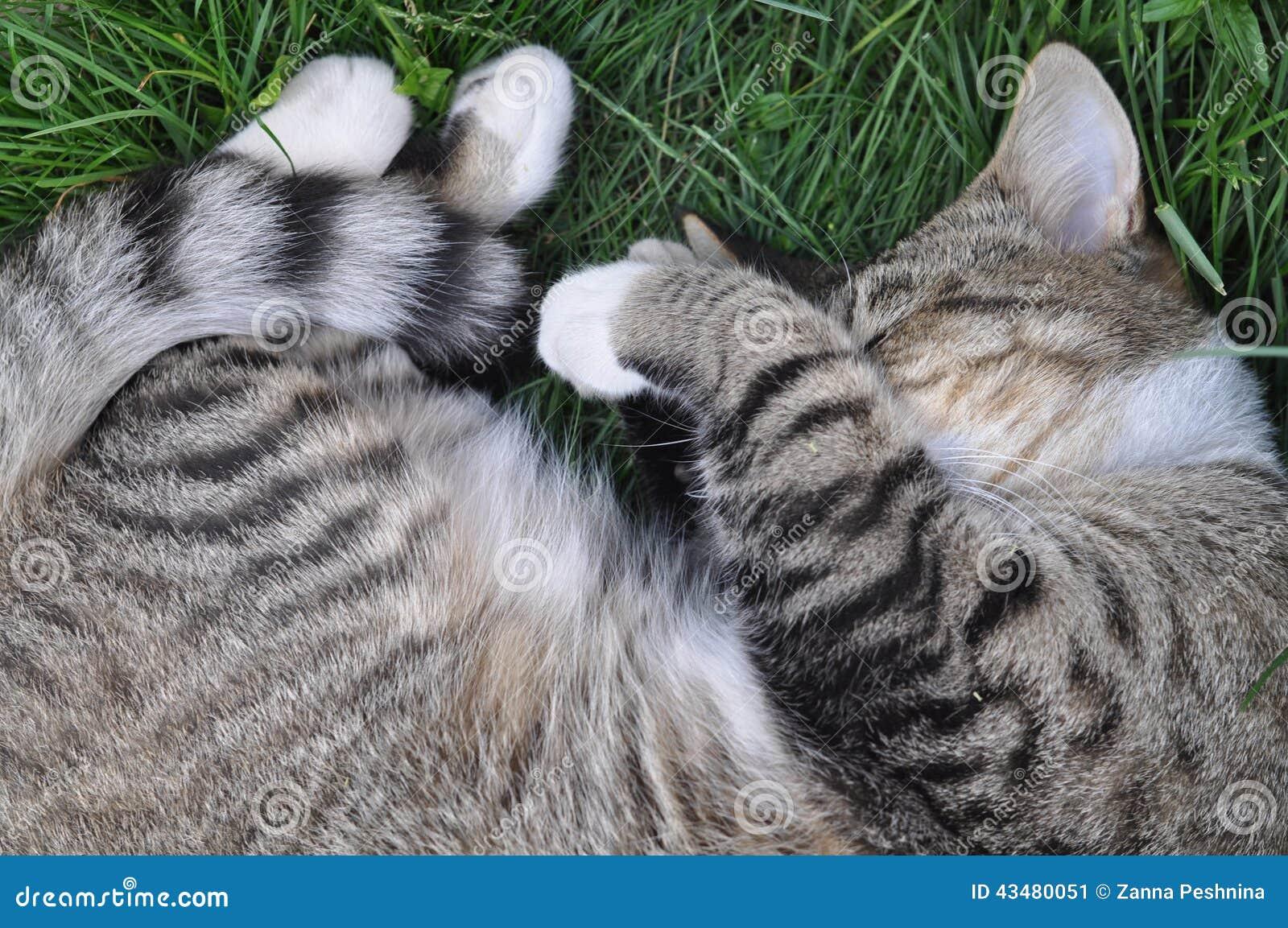 Sonni del gatto di soriano