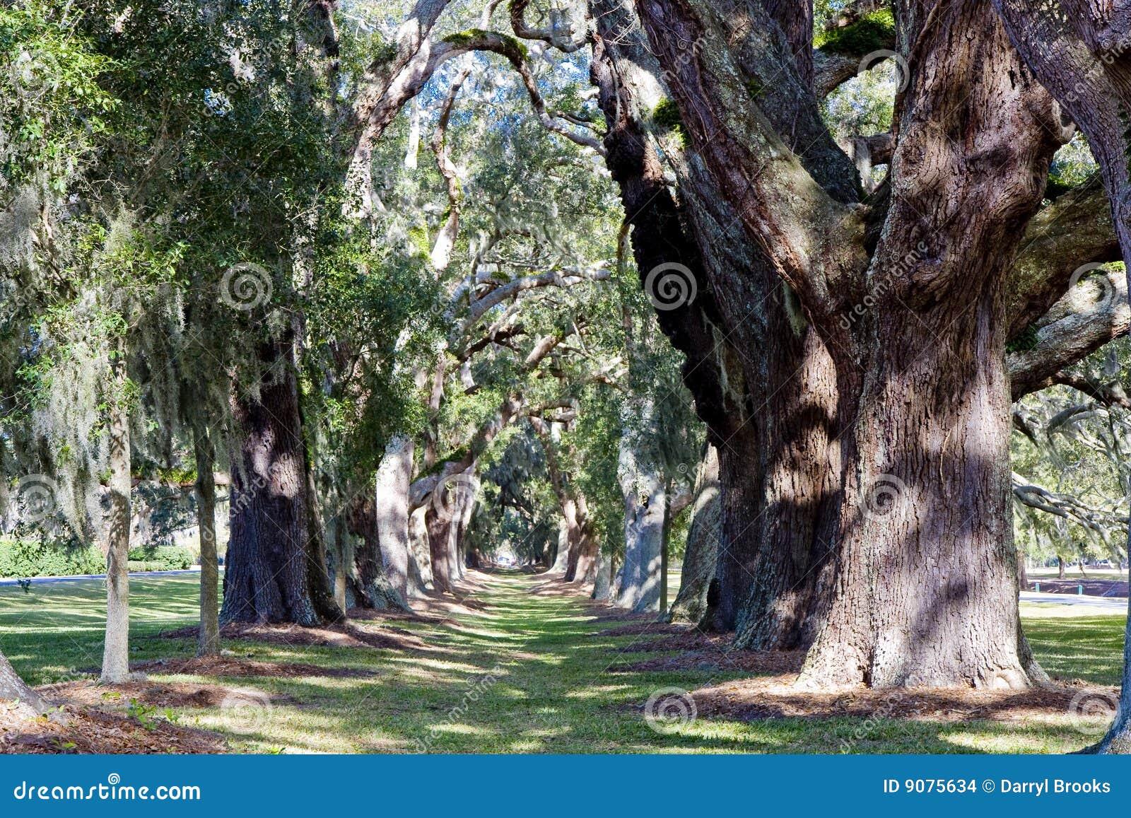Sonnige Eichen-Bäume in einer Reihe