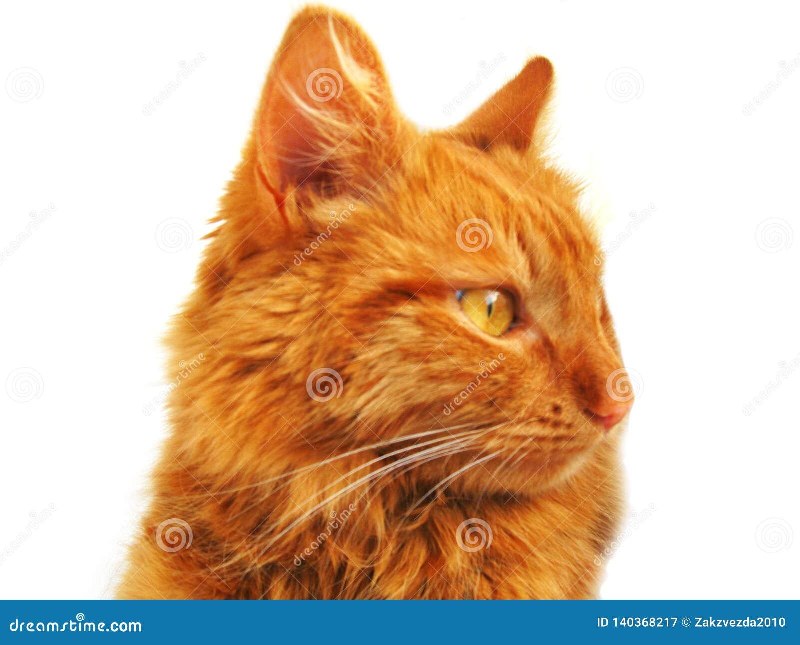 Sonnige orange Katze auf dem weißen Hintergrund