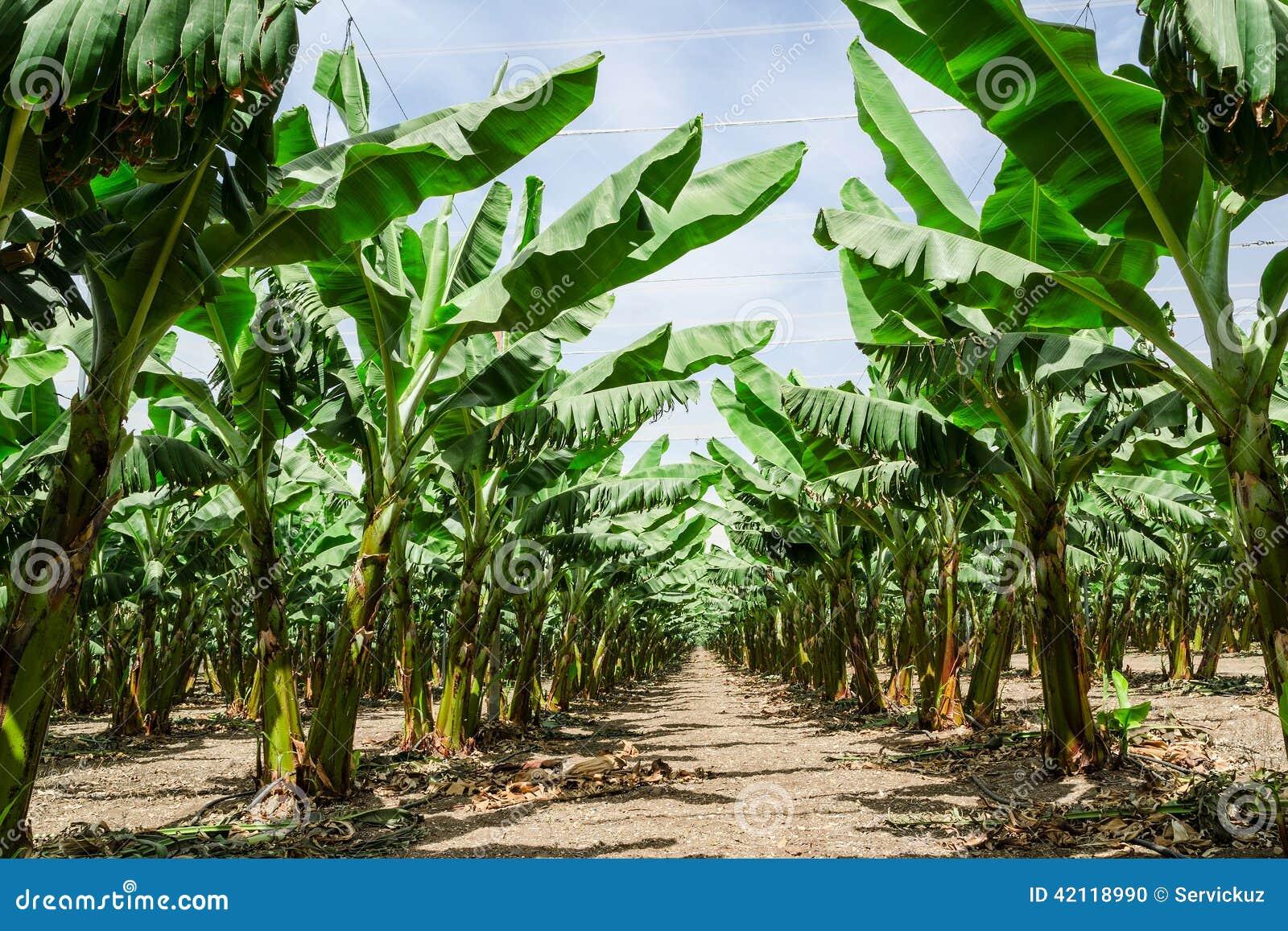 sonnige spur in der bananenpalme obstgartenplantage. Black Bedroom Furniture Sets. Home Design Ideas