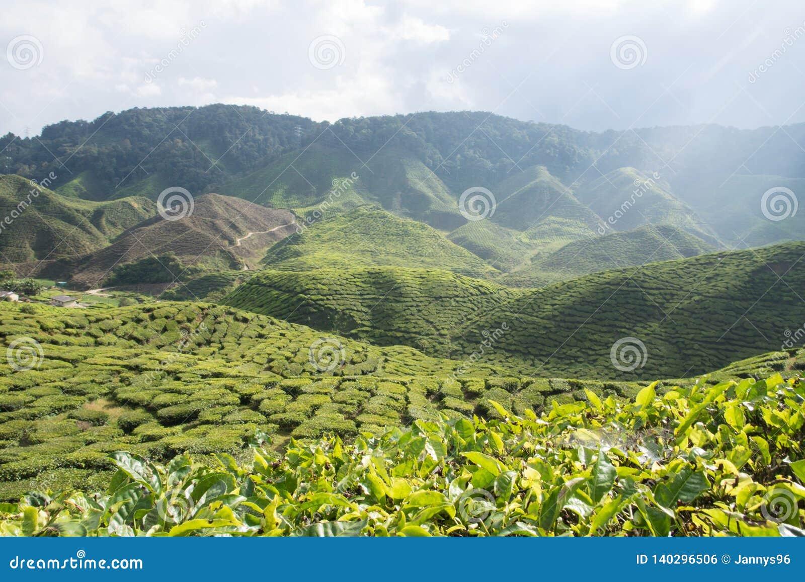 Sonniger szenischer Bergblick über Teeplantage in Cameron-Hochländern in Malaysia