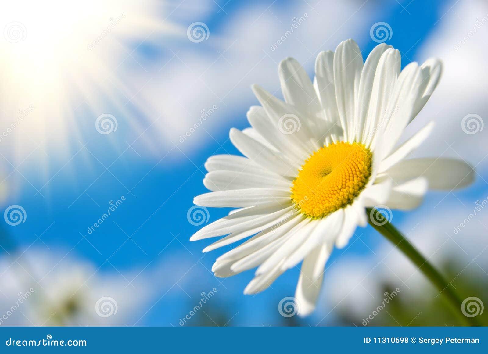 Sonniges Gänseblümchen