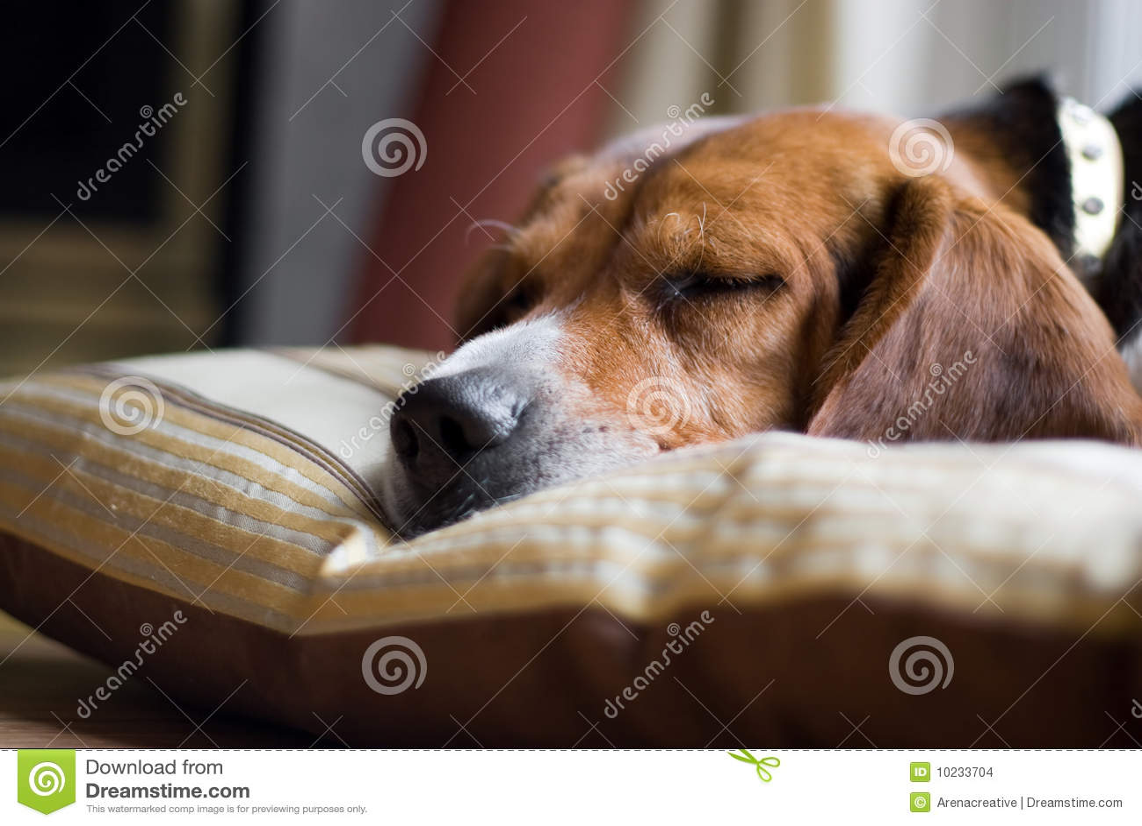 Sonno del cane del cane da lepre