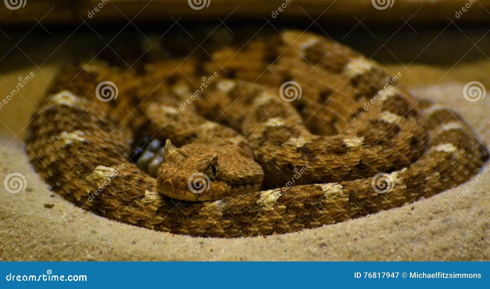 Sonoran Sidewinder (Crotalus cerastes cercobombus)